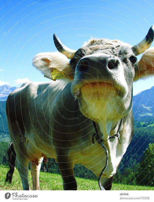 Jetzt ohne Schaf Kuh Tier Ferien & Urlaub & Reisen Dolomiten Wachsamkeit wach Humor Geruch lustig Berge u. Gebirge Himmel blau Interesse Nase lachen holiday