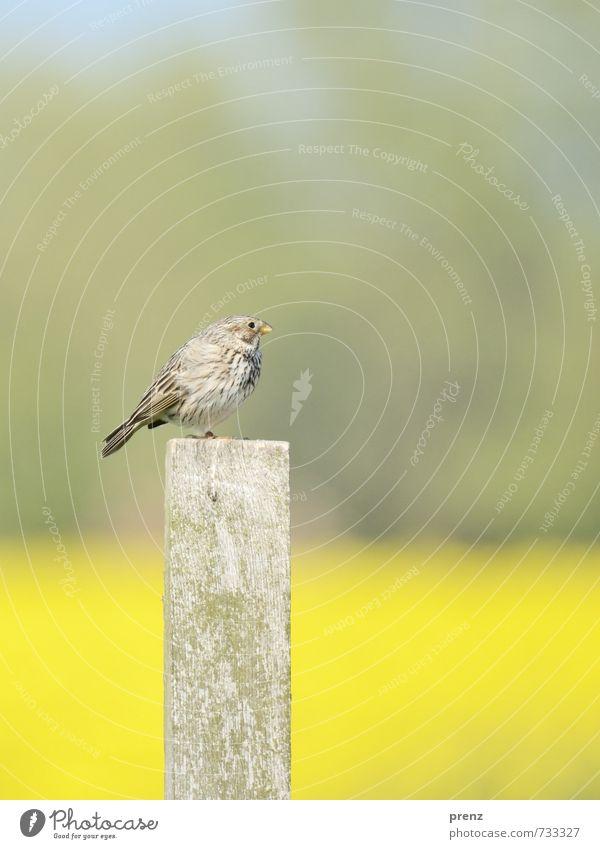 Grauammer Umwelt Natur Tier Wildtier Vogel 1 gelb grau Singvögel Holzpfahl sitzen Farbfoto Außenaufnahme Menschenleer Textfreiraum oben Tag
