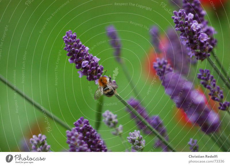 Hummel Biene Lavendel Frankreich Somalier blau grün rot Insekt Pflanze Blüte Tier Duft Heilpflanzen