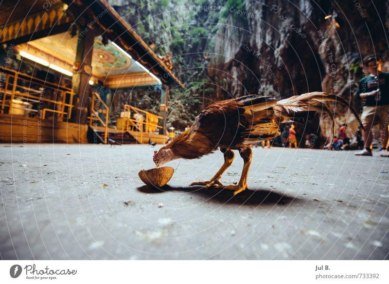 Chicken and the coconut Tier Stimmung Flügel gut Nutztier Haushuhn füttern Kokosnuss Malaysia