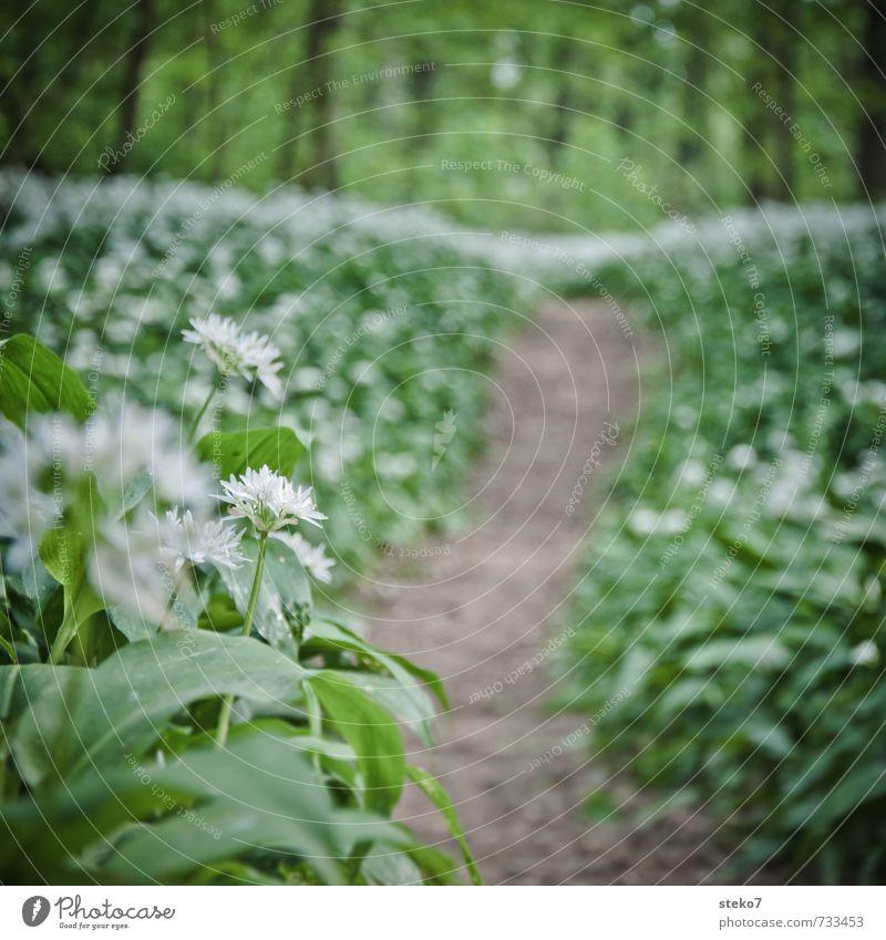 Waldgeruch Frühling Pflanze Wege & Pfade wandern braun grün weiß Natur Wachstum Ziel Bärlauch Auwald Farbfoto Außenaufnahme Textfreiraum oben Textfreiraum Mitte
