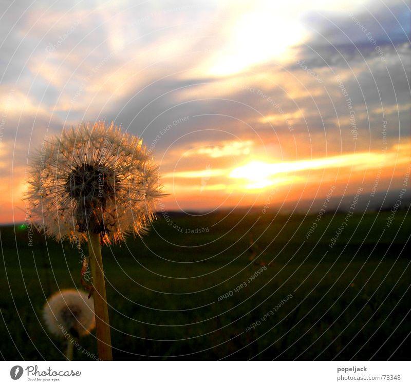 Vater und Sohn Löwenzahn Sommer Sonnenuntergang Sonnenaufgang Blume Wiese Kitsch sunrise Himmel