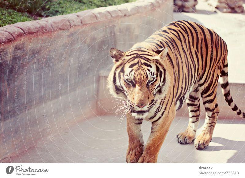 I will eat you Tier Wildtier Zoo 1 laufen Blick wild Angst gefährlich bedrohlich Katze Tiger gestreift orange Streifen Pelzmantel Auge Drarock Farbfoto