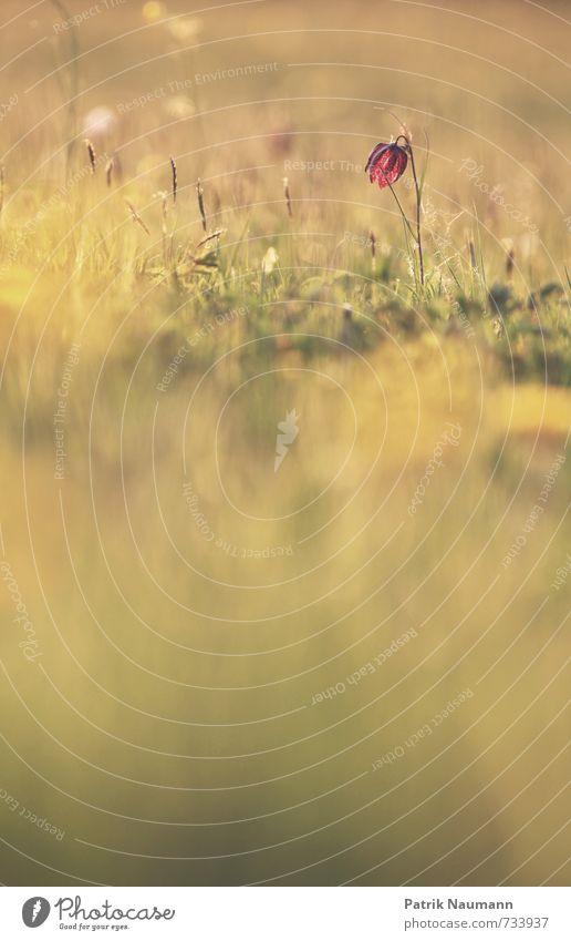 Fritlilaria meleagris Umwelt Natur Pflanze Sonne Frühling Schönes Wetter Blüte exotisch Schachbrettblume Feld Blühend Duft genießen träumen ästhetisch