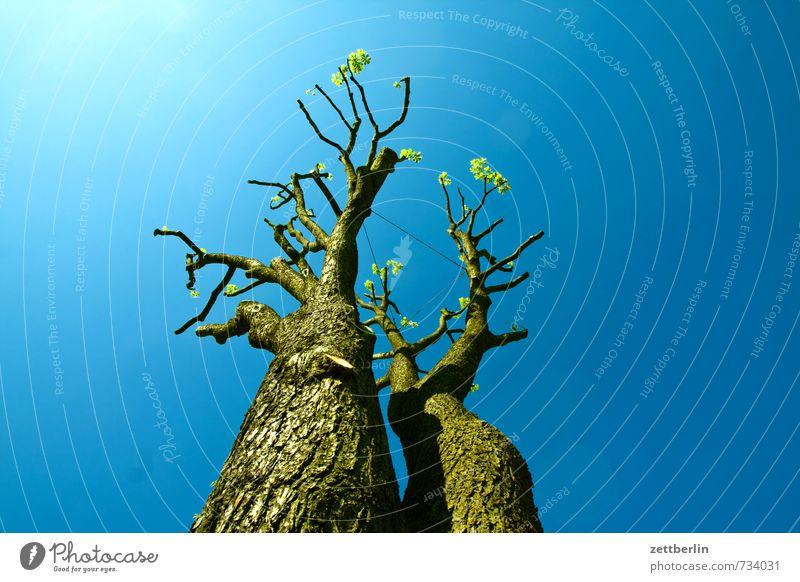 Kastanie Ast Baum Baumschatten Detailaufnahme Baumschule Baumstamm blau Froschperspektive Frühling Gartenbau Gärtner Himmel Blauer Himmel himmelblau