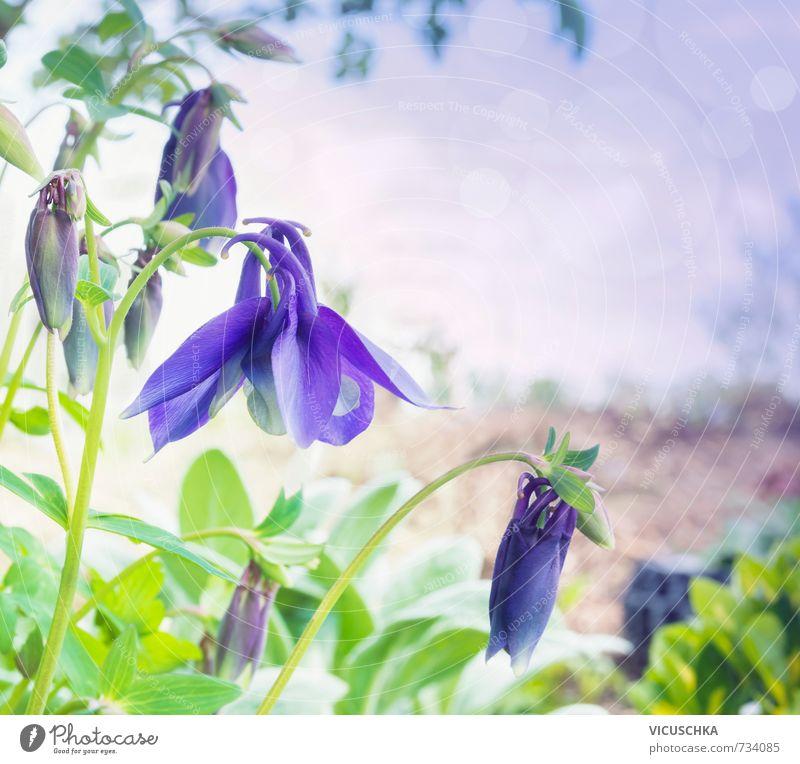 blue columbine flowers in garden, toning Natur Sommer Hintergrundbild Garten springen Park Freizeit & Hobby Lifestyle Image Colorado Akelei