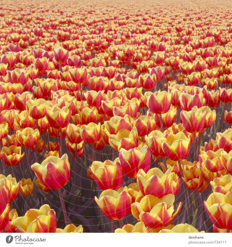 Tulpenmeer - Mehr Tulpen Ferien & Urlaub & Reisen Tourismus Blumenzüchter Landwirtschaft Forstwirtschaft Natur Pflanze Frühling Feld Blühend verblüht Duft