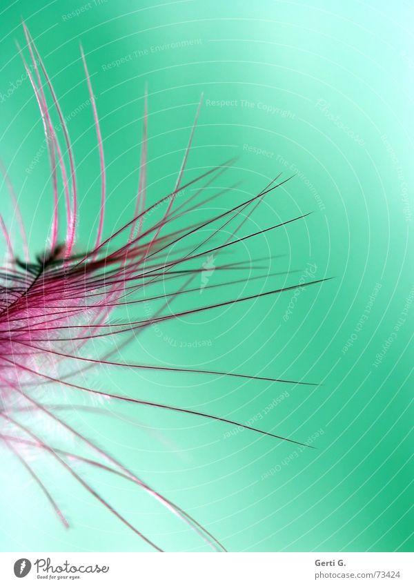 kitzeln rosa leicht schwer filigran grün Flaum buschig wehen Feder weich zart duftig Nähgarn straußenfeder Blumenstrauß flatternd Bewegung killern sanft Kitzel
