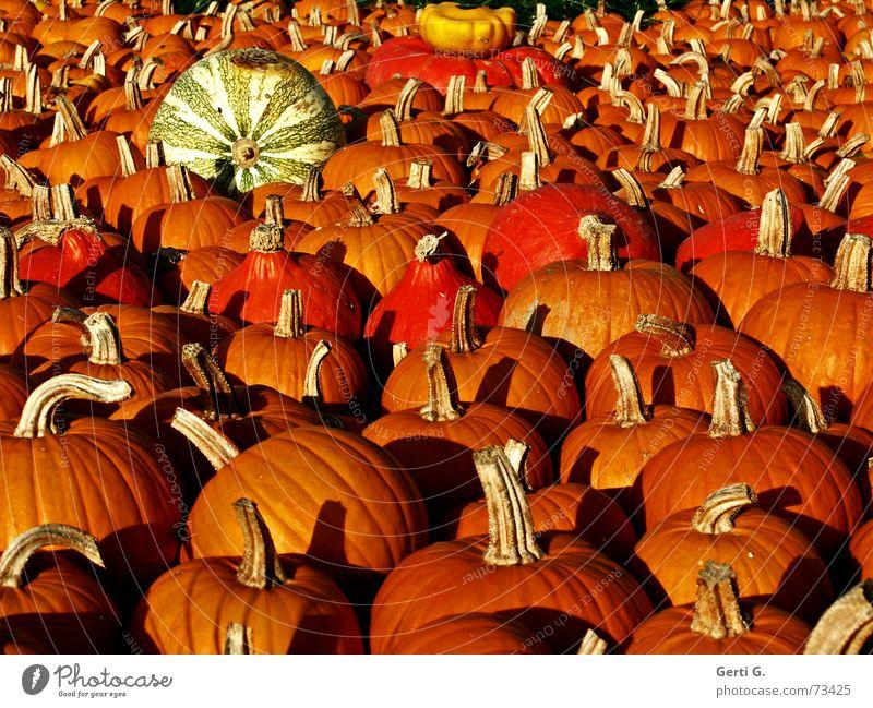 wolle Suppe koche? gelb Stengel lecker Kürbissuppe Lebewesen Herbst Kürbiszeit Ernährung Lebensmittel hart Halloween Erntedankfest Unikat Küche Ausstellung