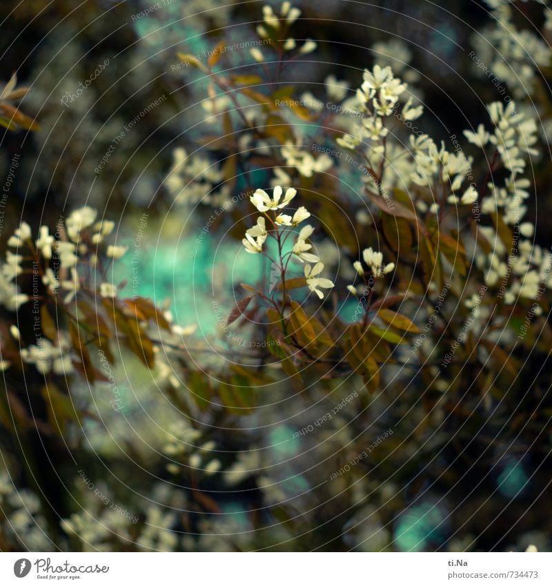 feel good Frühling Schönes Wetter Pflanze Sträucher Blatt Blüte Felsenbirne Blühend Duft frisch schön einzigartig wild blau grün türkis weiß Frühlingsgefühle