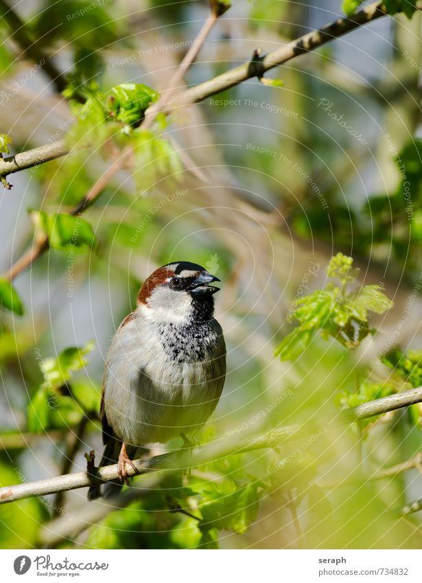 Haussperling Spatz Feder Vogel Schnabel plumage Ornithologie Sträucher verstecken Versteck verborgen Unterholz Baum Garten Ast Zweig Blatt hiding Natur wildlife