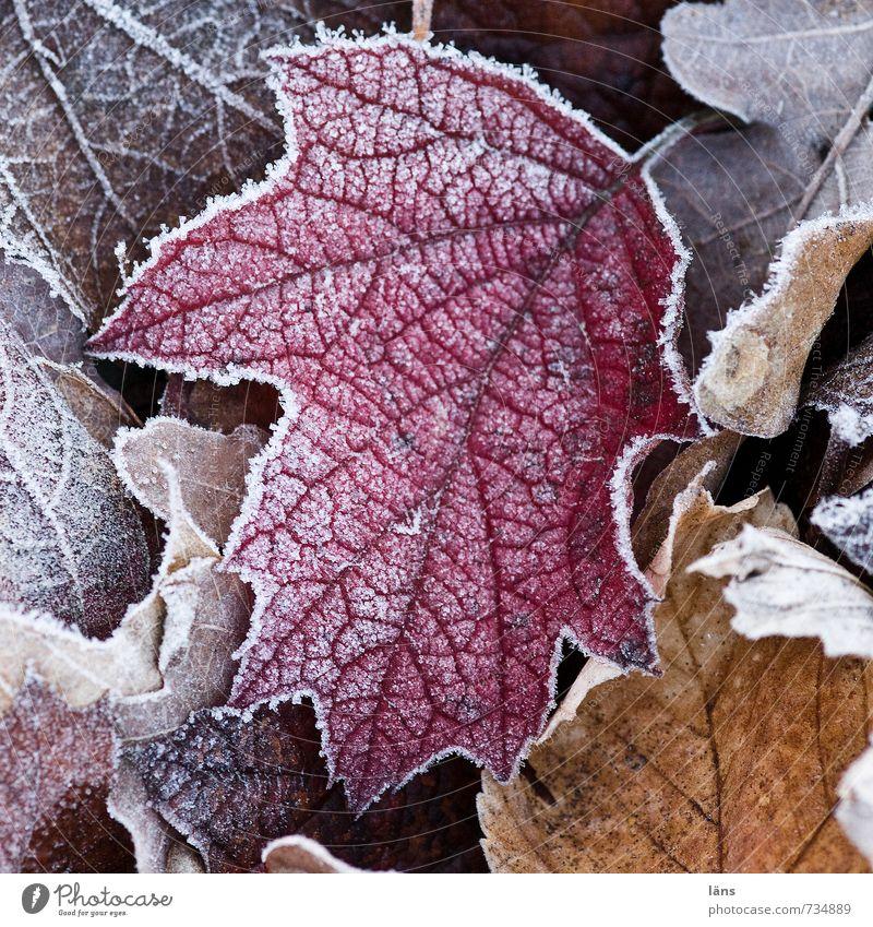 Frostsaum Natur alt Blatt Winter kalt Wald Umwelt natürlich Garten Park Eis Wandel & Veränderung