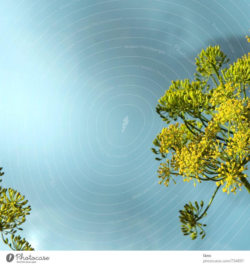 Gurkenkraut Natur Pflanze Dill Dillblüten Blühend blau gelb Wachstum Doldenblüte Himmel himmelwärts Außenaufnahme Menschenleer Textfreiraum oben