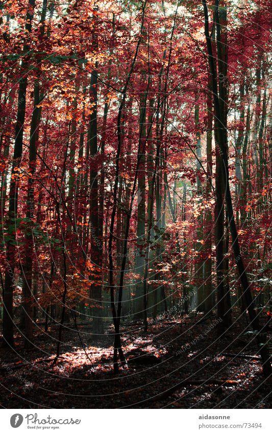 Herbstsonne Blatt Wald Beleuchtung