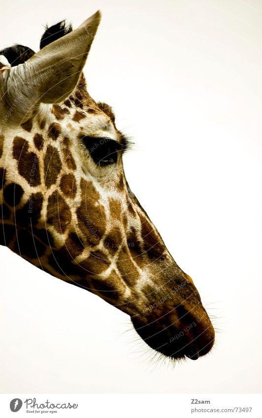 giraffe Tier Auge braun groß süß Ohr Punkt lang beige Schnauze gepunktet Giraffe