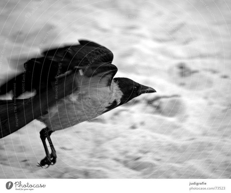 Start Krähe Aaskrähe Vogel Tier Strand Küste Meer Feder Schnabel schwarz grau Rabenvögel Weststrand Schwarzweißfoto Luftverkehr Beginn Sand Dynamik Kraft Flügel