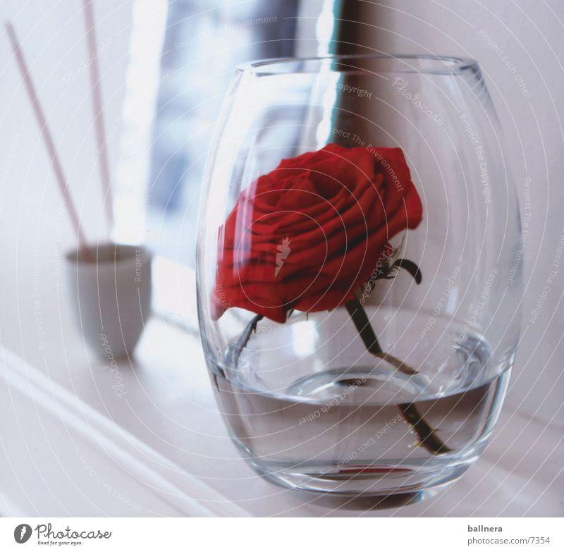 rose Natur Rose Valentinstag Blume