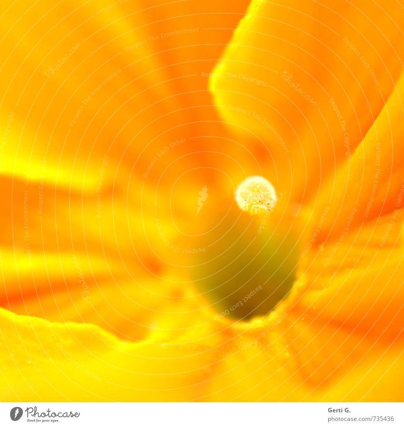 InnenLeben Natur schön Pflanze Blume gelb Blüte klein Gesundheit elegant Zufriedenheit stehen frisch niedlich fantastisch weich einzigartig