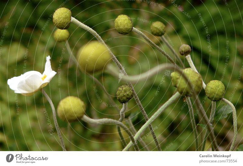 Hahn im Korb Pflanze grün weiß gelb Park Stengel Blüte Herbst Oktober chaotisch Unschärfe Zusammensein Einsamkeit Außenseiter Sommer 2006 geschätzt hellgrün