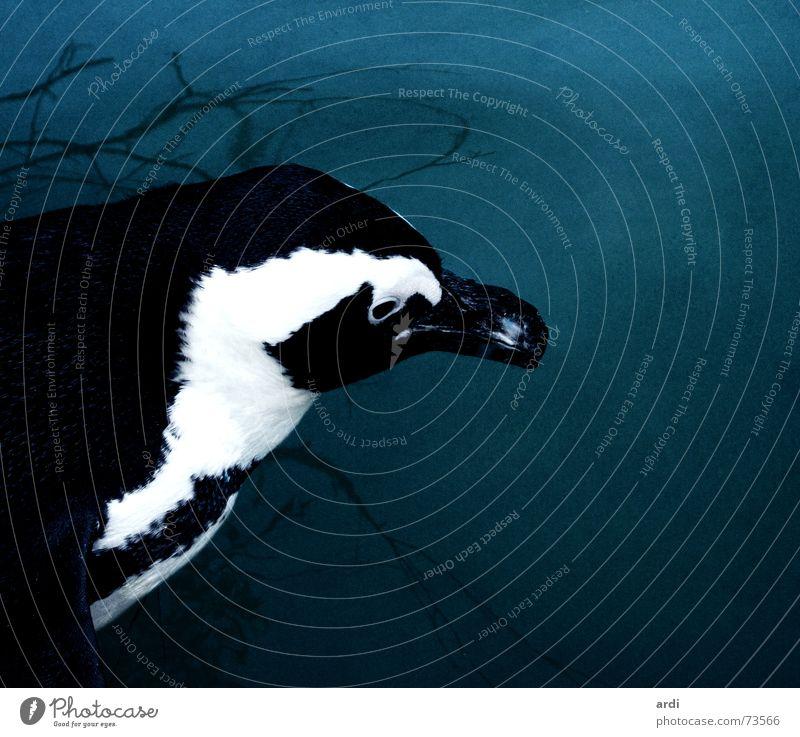 Pinguinleben schwarz weiß Muster Vogel Schnabel Tier dunkel kalt nass tief See Meer Antarktis Zoo Fleck Feder Wasser blau penguin black white pattern bird