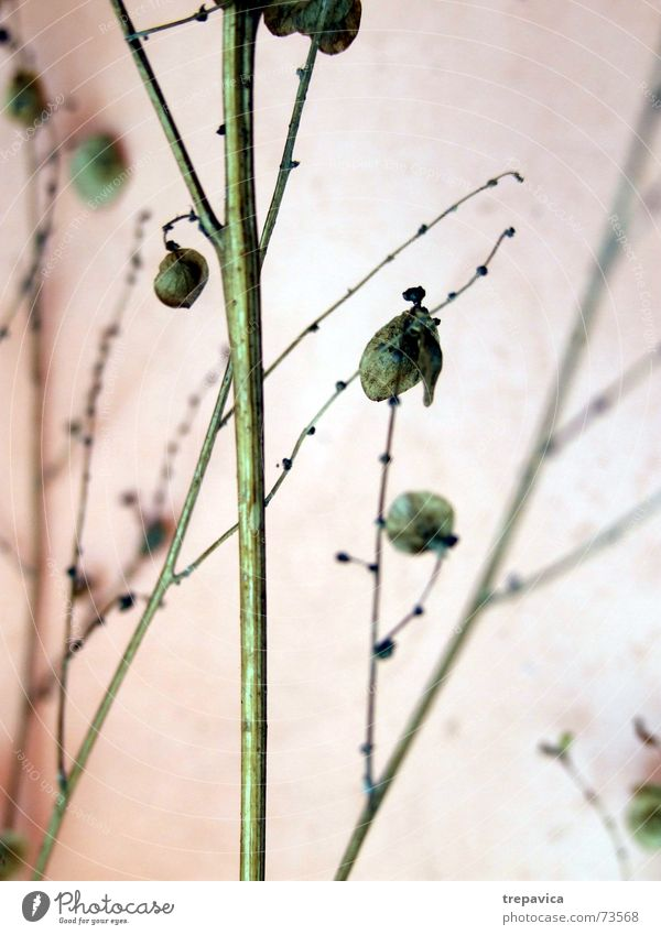 zweig Pflanze trocken Blüte Blume grün Trockenblume zart dünn fein getrocknet Natur Samen Zweig Ast