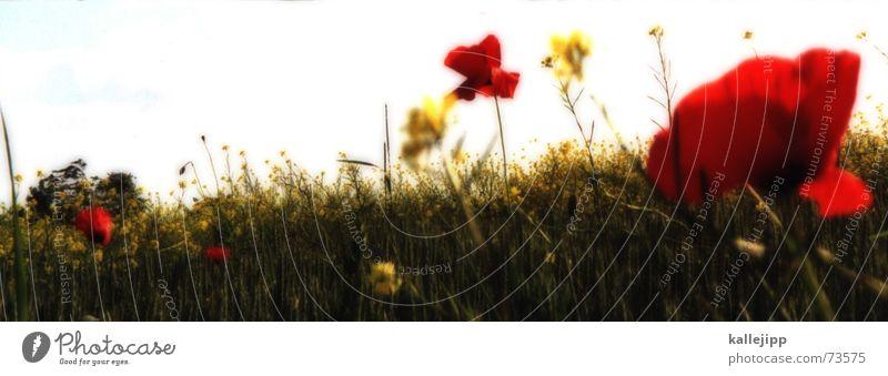 klatschmohn Blume rot Wand Beet Blumenbeet Blüte Wachstum Natur Gratulation Jubiläum Klatschmohn Wiese Sommer Blühend danke für die blumen kallejipp