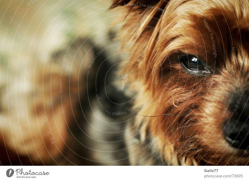 Kiko Hund Treue süß klein Yorkshire-Terrier