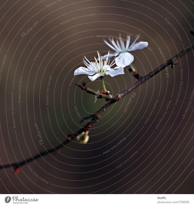 Schwarzdorn Natur Pflanze Umwelt Frühling Blüte Sträucher Beginn Blühend neu Frühlingsgefühle Wildpflanze Neuanfang April Erneuerung Frühlingstag Vor dunklem Hintergrund