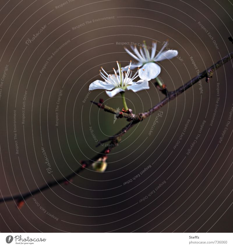 Schwarzdorn Umwelt Natur Pflanze Frühling Sträucher Blüte Wildpflanze Jungpflanze Frühlingsblume Blühend neu schön braun weiß Frühlingsgefühle braun-weiss