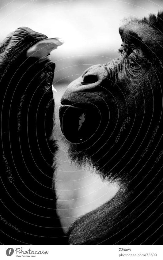 mmmm.... lecker Affen Tier Gorilla Silhouette Schnauze Urwald Fell schwarz glänzend genießen Ernährung eat Frucht festhalten Profil Schwarzweißfoto