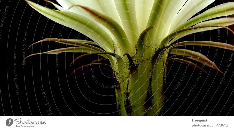 Königin der Nacht 2 Blume grün schwarz Blüte Kaktus