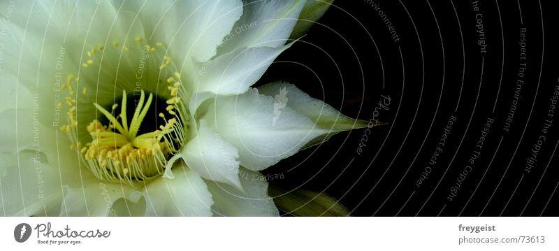 Königin der Nacht 3 Blume gelb Blüte Kaktus