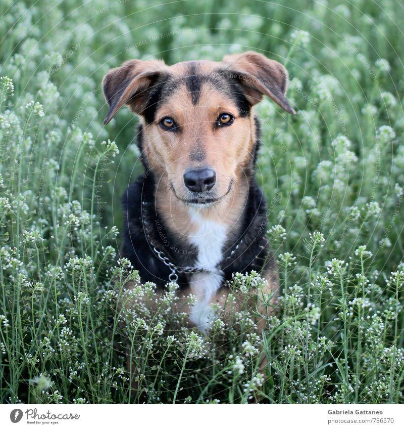 Erschrecken Tier Haustier Hund 1 Treue anschauen Grasland Wiese Pflanze Porträt Tierporträt geduldig Wachsamkeit schön Mischling Mischung warten ergeben