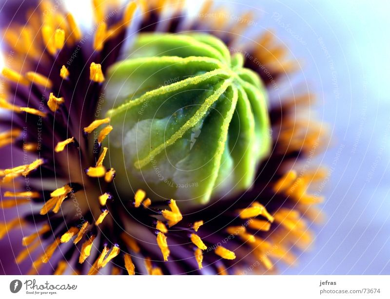 poppy flower Natur ruhig Leben Kunst Hintergrundbild Design elegant Teile u. Stücke Originalität Inspiration