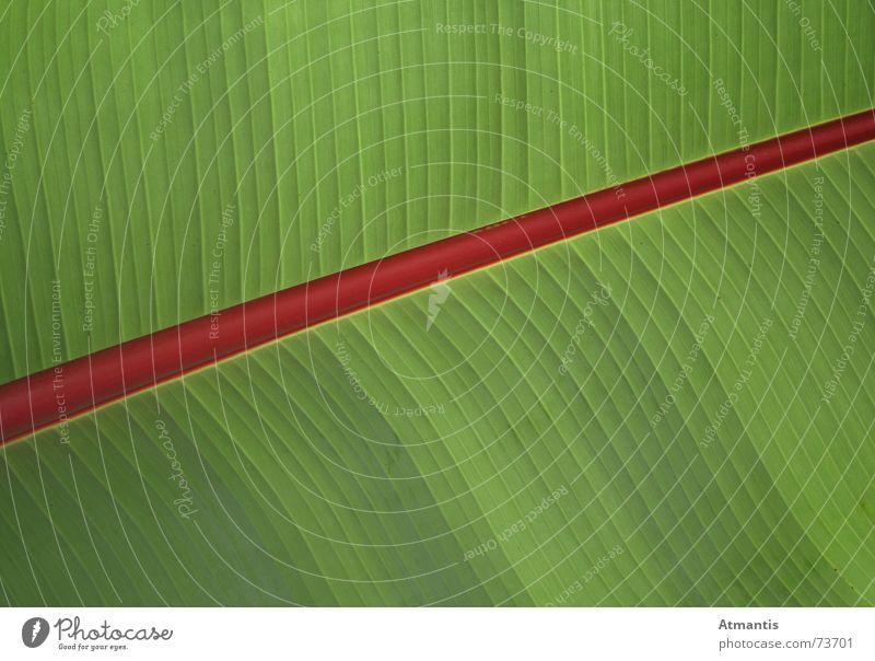 Palmenblatt grün Pflanze rot Blatt diagonal Banane