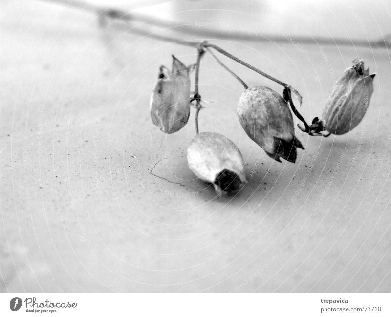 gloeckchen Natur Pflanze Blüte Traurigkeit Trauer 4 zart trocken Schwarzweißfoto getrocknet Trockenblume