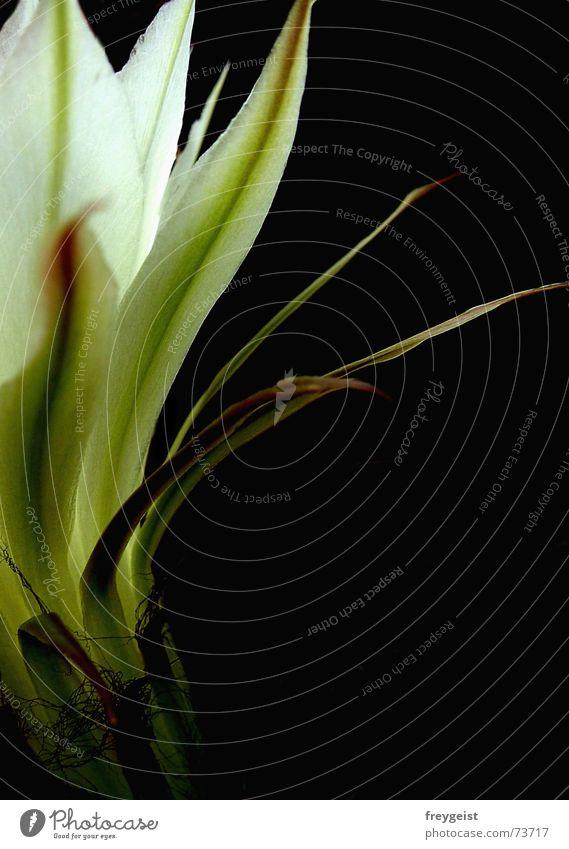 Königin der Nacht 4 weiß grün schwarz Blüte Kaktus