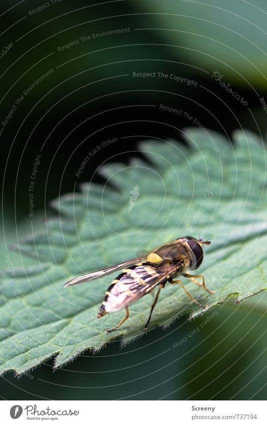 Auf Zack.... Natur Pflanze Tier Frühling Blatt Grünpflanze Wildpflanze Brennnesselblatt Wiese Feld Schwebfliege 1 sitzen warten braun gelb grün Gelassenheit