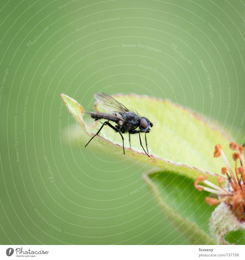 Bzzzzz.... Natur Pflanze Tier Frühling Blatt Blüte Wiese Feld Fliege 1 sitzen warten klein grün schwarz Gelassenheit geduldig ruhig Farbfoto Makroaufnahme