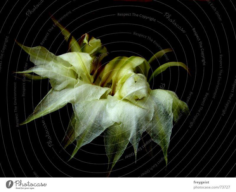Schönheit ist vergänglich... Kaktus Blüte Vergänglichkeit weiß schwarz grün Ende end verblüht flower white black welk