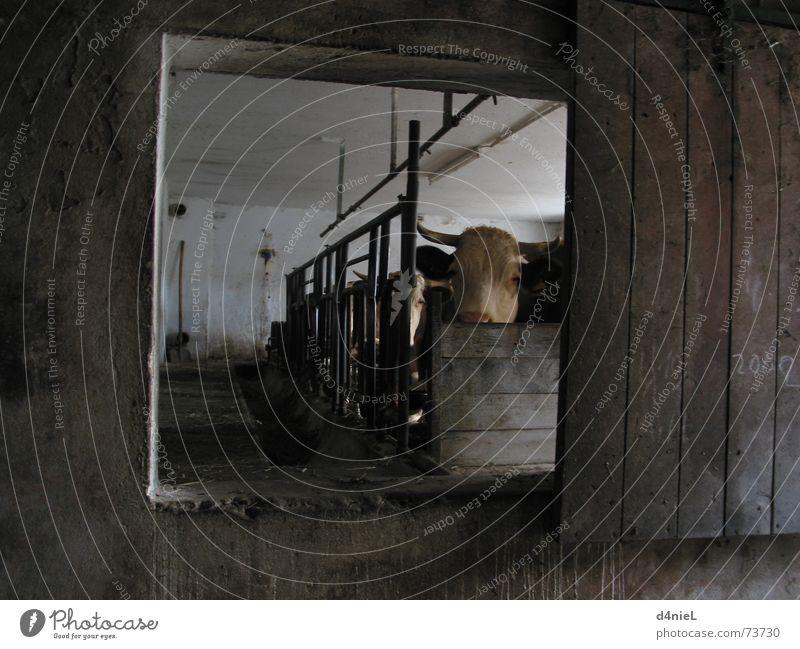 Muh macht die Kuh ruhig Tier dunkel Fenster braun Bauernhof Säugetier Stall muhen Kuhstall