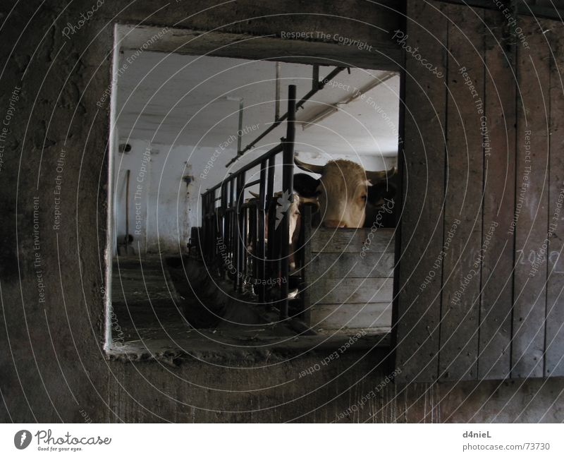 Muh macht die Kuh ruhig Tier dunkel Fenster braun Bauernhof Kuh Säugetier Stall muhen Kuhstall