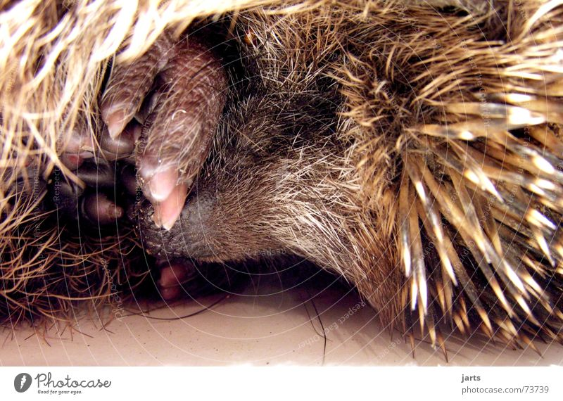 Gute Nacht Igel schlafen träumen Tier Fell Vertrauen Säugetier jarts Stachel