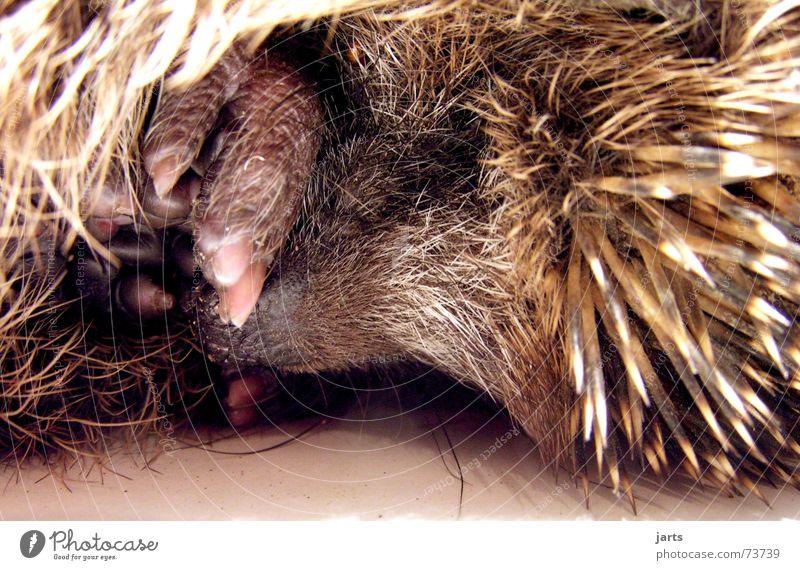 Gute Nacht Tier träumen schlafen Vertrauen Fell Säugetier Stachel Igel