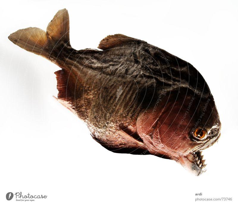 Piranha Tier Fisch gefährlich bedrohlich Gebiss Schwimmhilfe Vorsicht Kopfschuppe Piranha