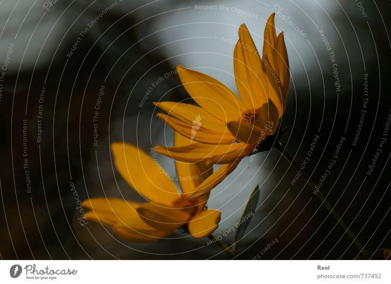 Im Abendlicht II Natur Pflanze Sonnenlicht Blume Blüte Grünpflanze Wildpflanze Topfpflanze Garten Park Wiese Blühend träumen dunkel schön gelb gold orange