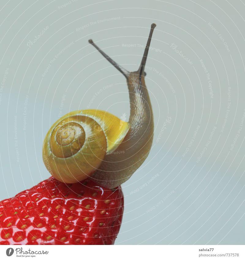 Wellnes für die Schnecke Frucht Wellness Wohlgefühl Sinnesorgane Wildtier 1 Tier Ekel Gesundheit Neugier süß gelb rot Lust genießen Erdbeeren verführerisch