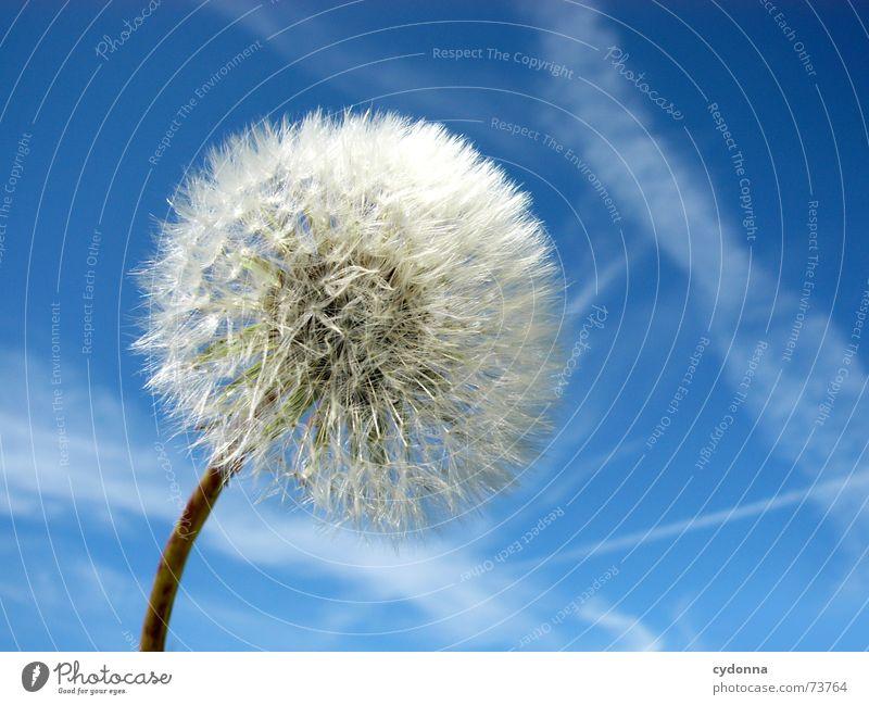 Pusteblume Natur schön Himmel blau Pflanze Sommer ruhig Wolken Ferne Leben Luft Stimmung klein Wind Ausflug leer