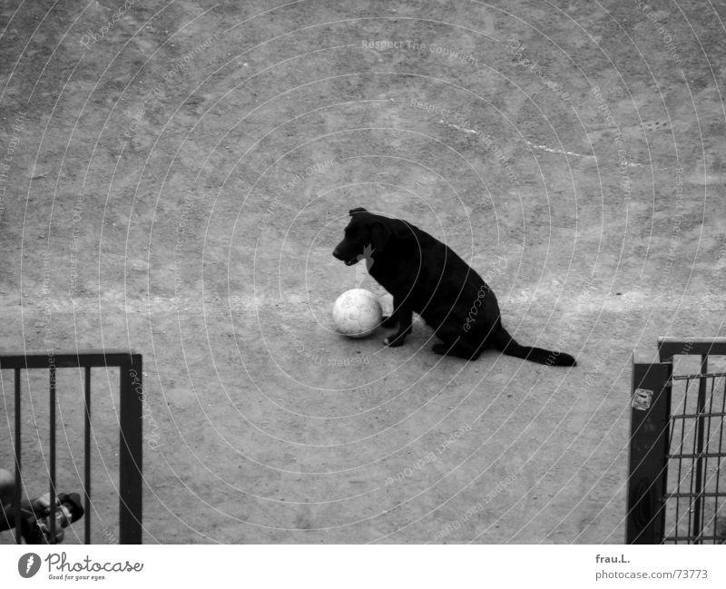 sie ist ein Star Hund Fußball beobachten Ball Zaun Verkehrswege Säugetier Fußballplatz treten filmen Ballsport Sportplatz