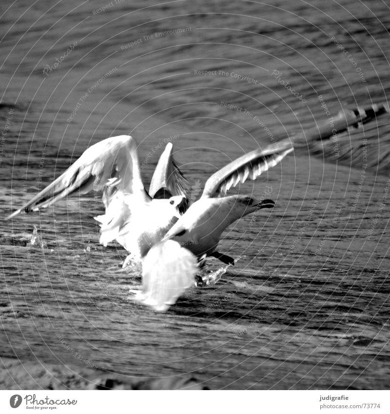 Streithähne Wasser Meer Strand schwarz Sand Vogel Angst gefährlich bedrohlich Wut Konflikt & Streit Ostsee kämpfen Möwe Ärger Angriff
